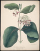 Titre original :  Cornus Aslepias vel Asclepias Syriaca, Indian Hemp - Milk Weed.
