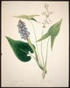 Titre original :  Wild Flowers of Nova Scotia and New Brunswick - Pickerel Weed and Common Arrowhead.