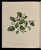Titre original :  Wild Flowers of Nova Scotia Epigoea repens. May Flower (Plate I).jpg - Wikimedia Commons