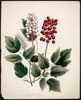 Titre original :  Actoea Alba & Rubra, Red and White Baneberry.