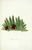 Titre original :    Description English: Stapelia reticulata Masson is a synonym of Huernia reticulata (Masson) Haw. Date 1796 Source http://www.panteek.com/Books/MassonStapeliae/index.htm Author Francis Masson (1741-1805)