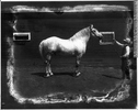 Titre original :  Photograph George Lane's percheron stallion on Namaka farm, near Strathmore, AB, about 1920 Wm. Notman & Son About 1920, 20th century Silver salts on glass - Gelatin dry plate process 20 x 25 cm Purchase from Associated Screen News Ltd. VIEW-8507 © McCord Museum Keywords:  farming (278) , Industry (942) , Photograph (77678)
