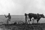 Titre original :  Norman Criddle with oxen, 4 November 1903. Source: Sipiweske Museum.